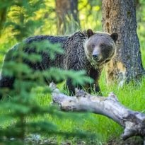 Grizzly Bear in Jasper National Park, Canada